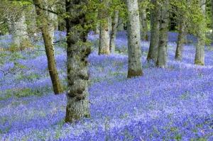 Bluebell oak woodland © Lorne Gill/SNH