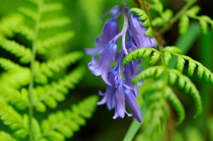 'wild hyacinth bluebell ©Lorne Gill/SNH