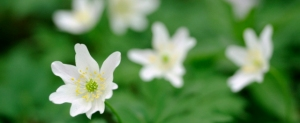 Wood Anemone ©Lorne Gill/SNH