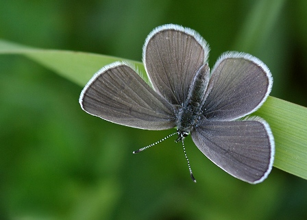 Small blue (Cupido minimus), photo Minik Kupid
