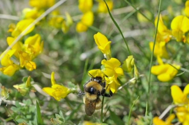 Great Yellow Bumblebee feeding on Kidney Vetch, © Lorne Gill/SNH