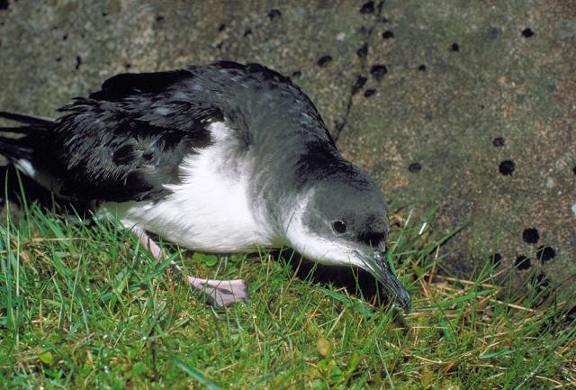 Manx shearwater  (Puffinus puffinus) ©Lorne Gill