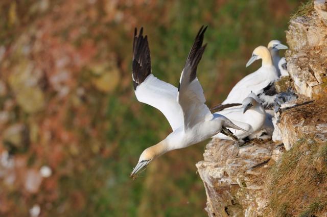 Nesting gannets, Troup Head, © Lorne Gil