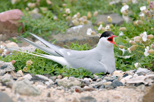 Arctic Tern, nesting on the Isle of May NNR. © Lorne Gill/SNH