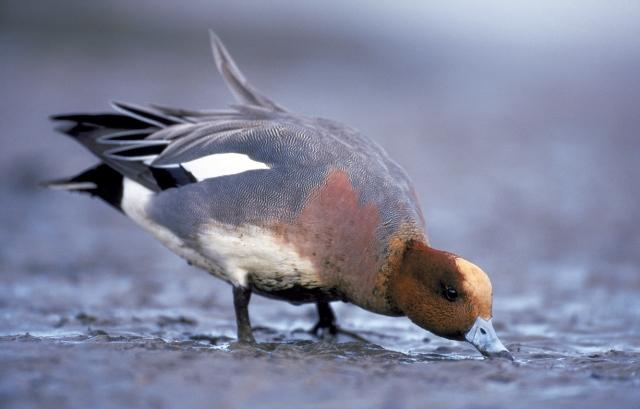 Wigeon feeding  (c) Niall Benvie
