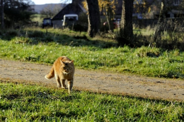 Hybridisation with domestic cats is a threat to the wildcat. © Lorne Gill/SNH