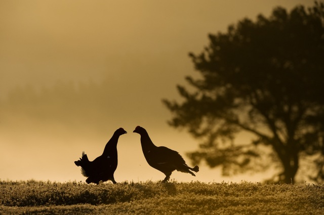 Black grouse fighting at dawn