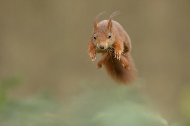 Red squirrel - (c) Edwin Kats