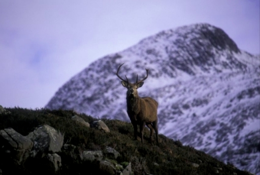 Red deer stag on Beinn Eighe in winter, © John MacPherson/SNH