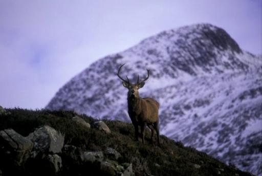 Red deer stag on Beinn Eighe in winter, © John MacPherson/SNH