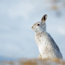 Mountain Hare, by David Wolfeden