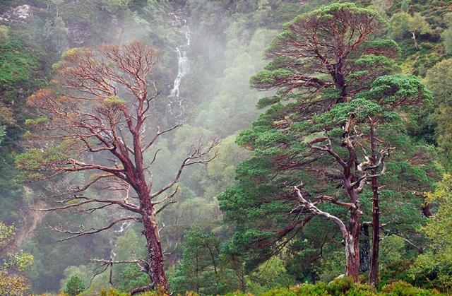 Ancient Scots Pines at Beinn Eighe NNR, © Lorne Gill/SNH
