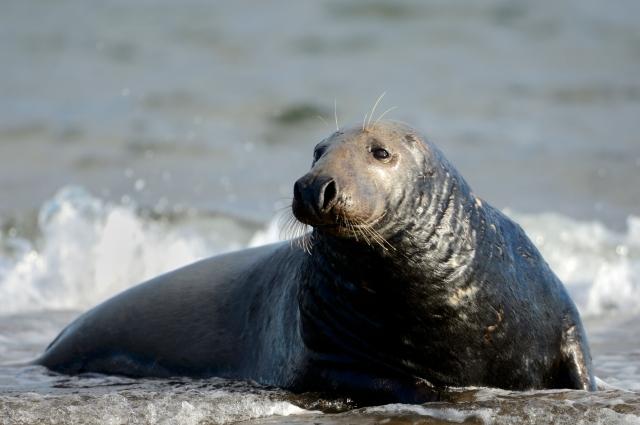 Tentsmuir seal