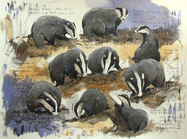 Badger studies