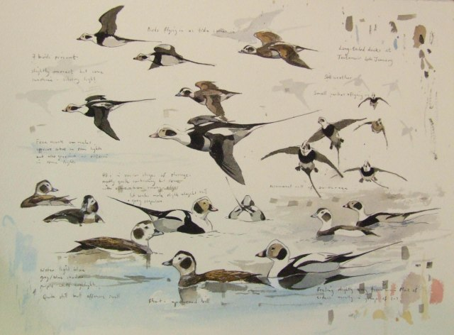 Long-tailed ducks perfectly captured by Derek