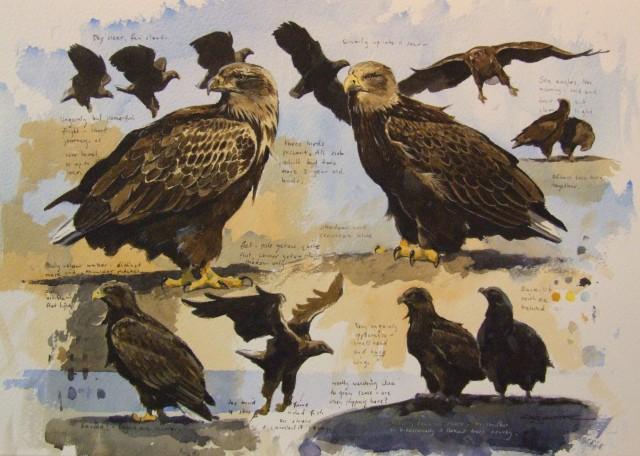 Sea eagle study