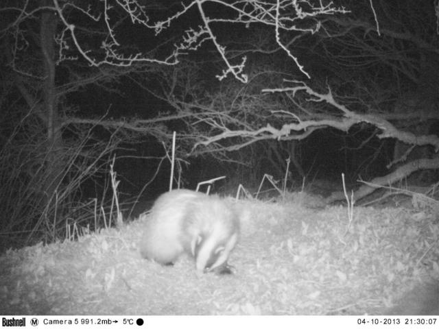 Badger, spotted via camera trap