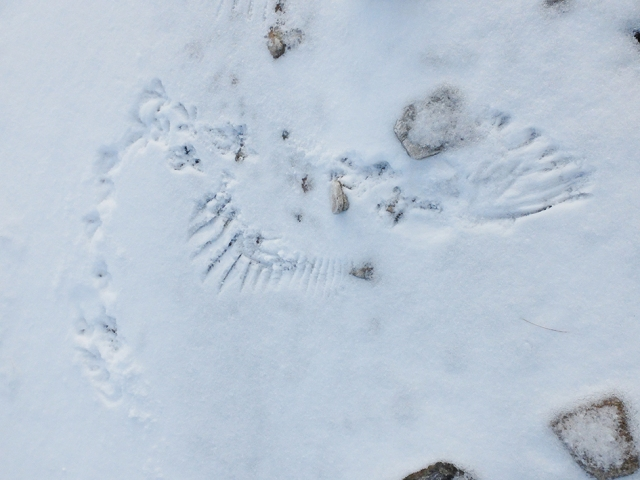 Ptarmigan wing imprints