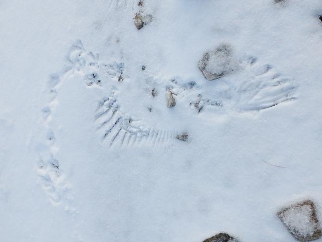 Ptarmigan wing imprints