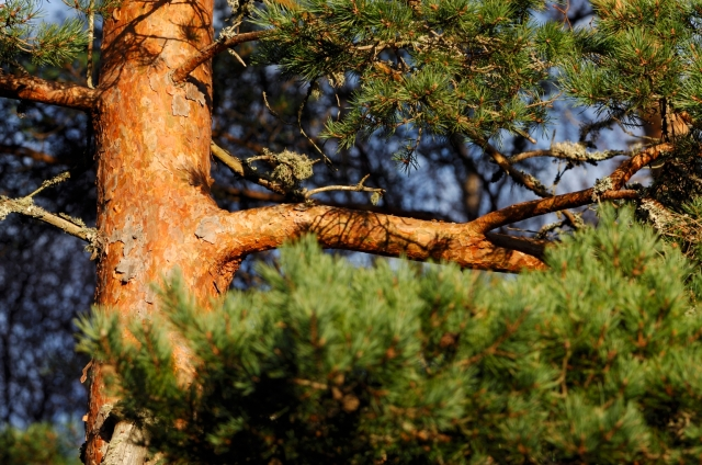 Scots Pine ©Lorne Gill/SNH