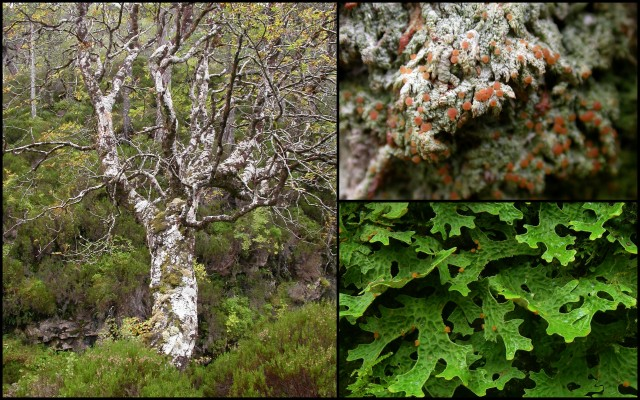 Rowan supports a 'showy' group of lichens not found on many other types of tree in the NNR