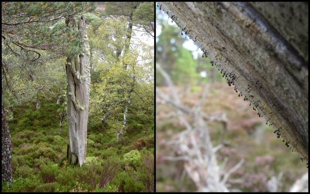The pale, yellowish colours of this standing 'bone' (left) are small, scruffy pinewood lichens. A closer look reveals tiny Pin-head lichens such as Calicium glaucellum (right) with black stalks and heads.