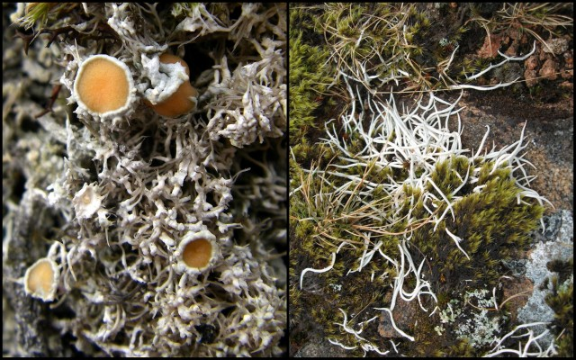 'Fish-bones and Apricot jam-tarts' (left) and 'Mountain worms' (right) — amongst the more 'exotically named' lichens you can encounter at Beinn Eighe.