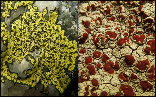 Two rock lichens: The Map lichen Rhizocarpon geographicum (left) and Blood spot Ophioparma ventosum (right)