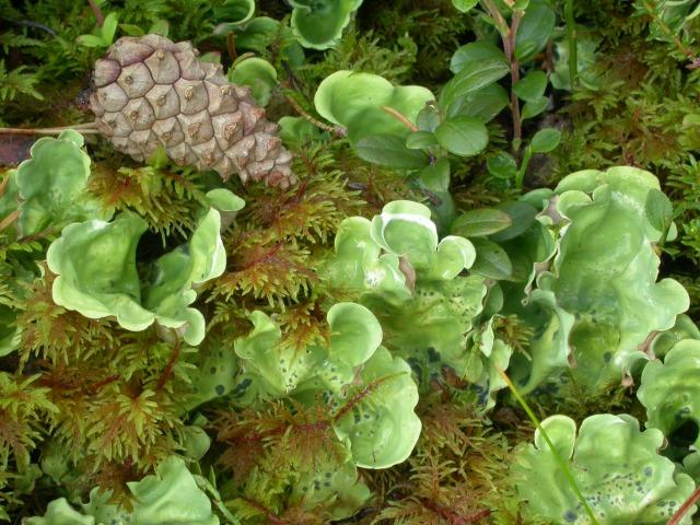 Nephroma arcticum on lichen moss-heath. (Note this image was taken in Norway)