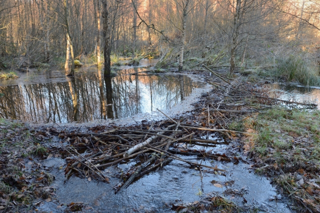 Beavers are famous for their dam-building skills.
