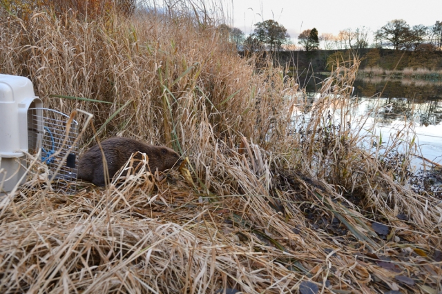 A young beaver being released back into the wild after it has been screened.