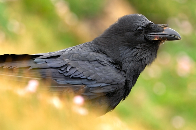 The raven can be an extremely clever bird
