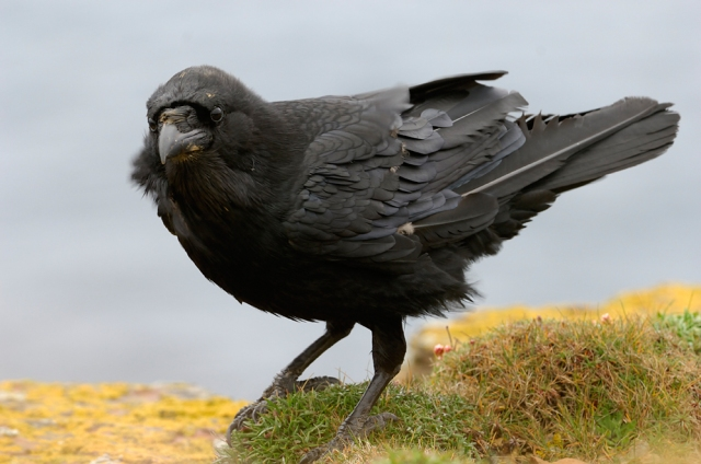 The raven is our largest member of the crow family