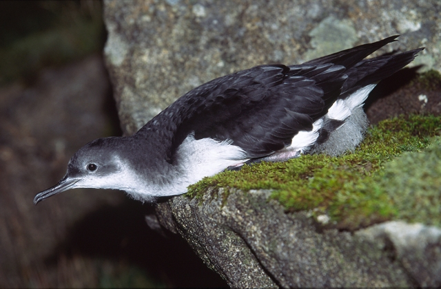 Manx shearwater ©Laurie Campbell/SNH