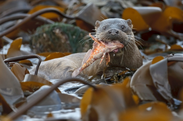 European otter (Lutra lutra)  with scorpion fish. Shetland Isles.  © Chris Gomersall/2020VISION