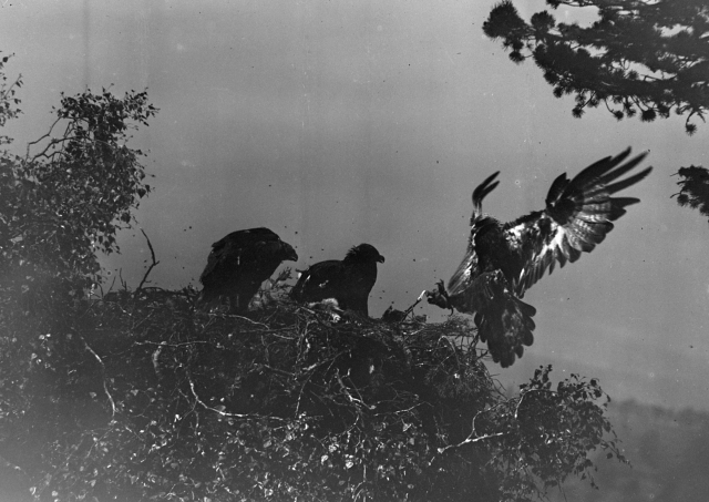 Gordon in 1925 after hours of observation. The study of these chicks who he called Cain and Abel, formed the basis of 'Days with the Golden Eagle'.  You can see the flies hovering around the chicks and prey remains in the eyrie'