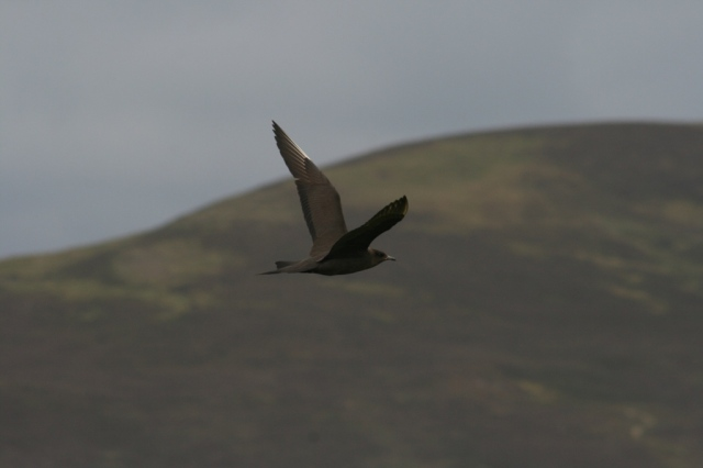 Arctic skua (Scootie Allan) by  Katherine Snell