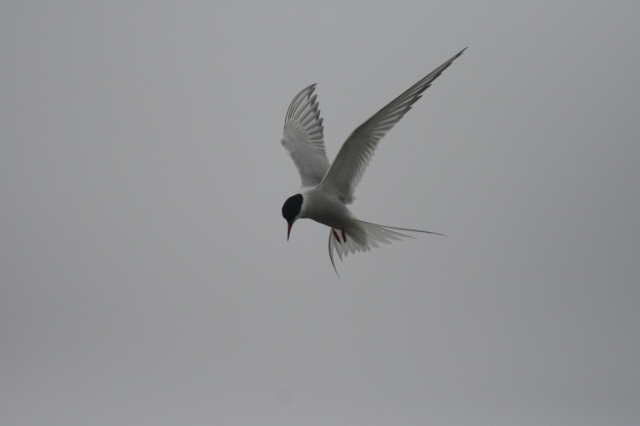 Arctic tern (Tirrick) by Katherine Snell