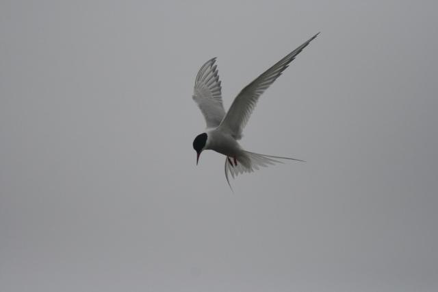 Arctic tern (Tirrick) by Katherine Snell