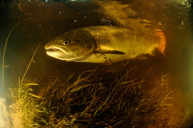 2.Many female Atlantic salmon are returned to the river immediately after capture to allow them to spawn.