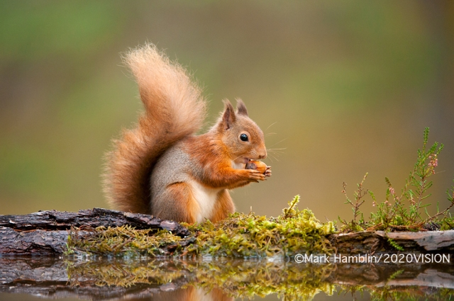 Red squirrel  (Image by Mark Hamblin/2020VISION)