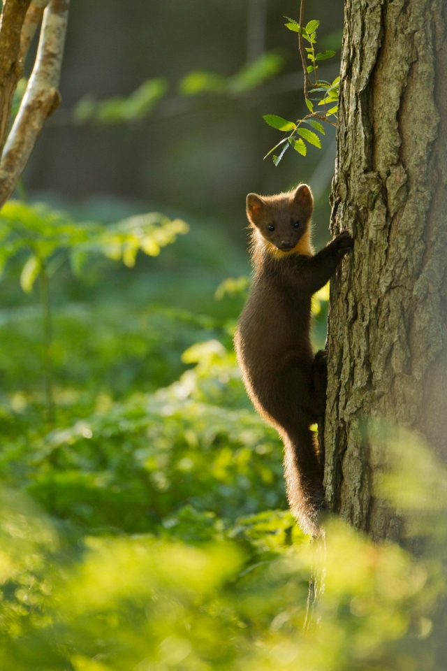 Pine marten youngster climbing pine tree in woodland at Beinn Eighe National Nature Reserve