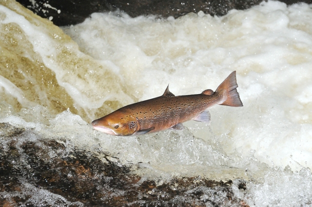 A male fish leaping a waterfall on the River Almond, Perthshire.