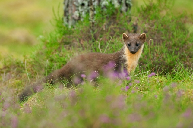 Pine marten showing clearly the distinctive 'bib.