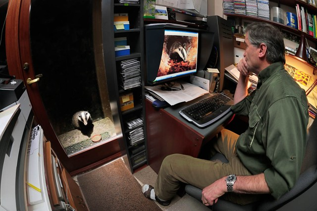 """A recent photograph. Taken primarily to illustrate and share my excitement of having nightly visits of badgers to my office door."""