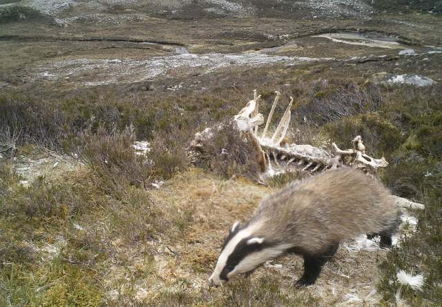 Badger on the slopes of Beinn Eighe
