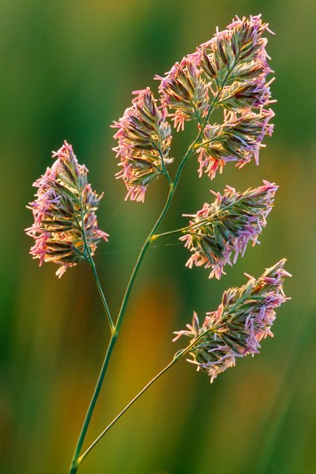 """I obtain just as much satisfaction from photographing common, everyday subjects such as this grass as compared to rare and elusive ones."""