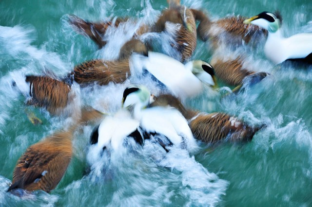 Eiders. Deliberatly photographed with a slow shutter speed on the camera to record the movement of these birds as a 'motion blur'.