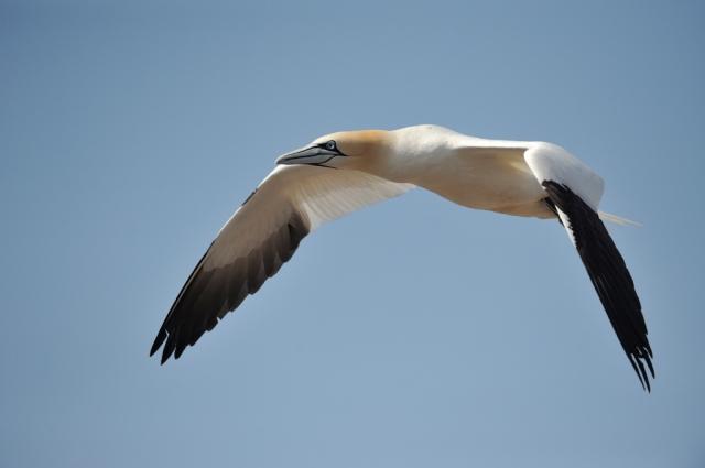 A beautiful gannet in flight