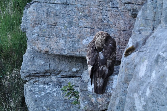 Photographed at a very long range (close to sixty metres away), using a simple compact camera attached to a big lens to obtain very high magnification. Adult eagle roosting and asleep on cliff ledge near its eyrie at mid-summer.